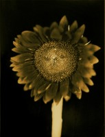 Chuck Close - Untitled (Sunflower)