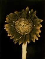 Chuck Close - Untitled (Sunflower)