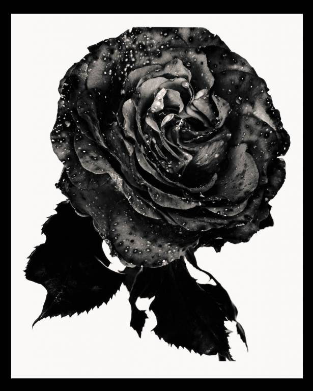 Nick Knight - Black Rose - 1993-2012.