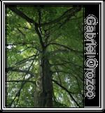 Gabriel Orozco - Tree lines